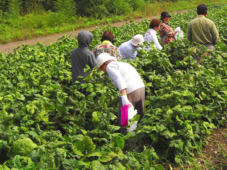 黒豆収穫体験