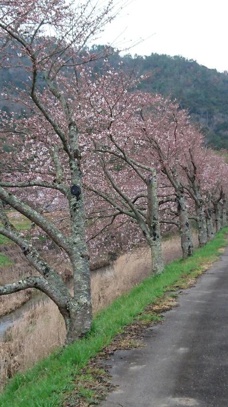 宮田川桜1